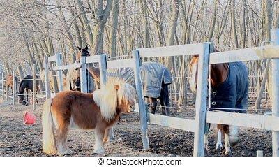 shetland pony and a Horse
