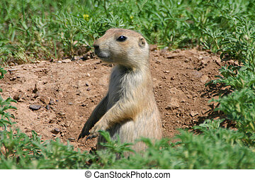 Prarie Dog - A prarie dog stand watch over his den