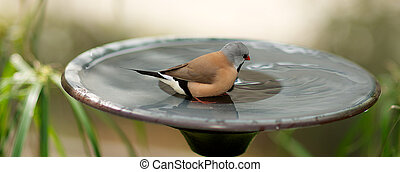 Unidentified Species of Finch using a bird bath.