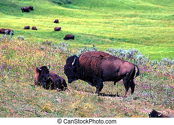 Bison - Yellowstone National Park - Bison graze on a summer...