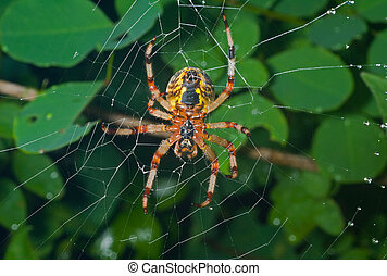 Spider on spider web 23 - A close up of the spider spins...