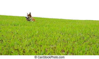 Pembroke Welsh Corgi running down a green glass field