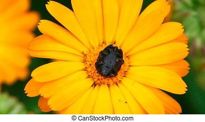 Black beetle.