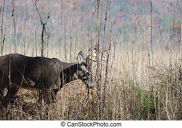 Whitetail deer buck moving through brush on the edge of a...