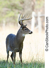 Whitetail buck - Large whitetailed deer buck in a meadow