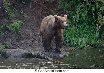 Alaskan brown bear standing on the shore - Alaskan brown...