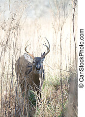 Whitetail deer buck moving through brush