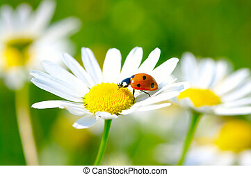 ladybug - The ladybug sits on a flower