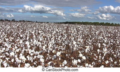 Cotton Field - Pan across a vast cultivated field of growing...