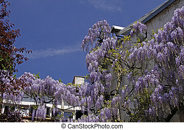 Chinese Wisteria, Wisteria sinensis - Chinese Wisteria...