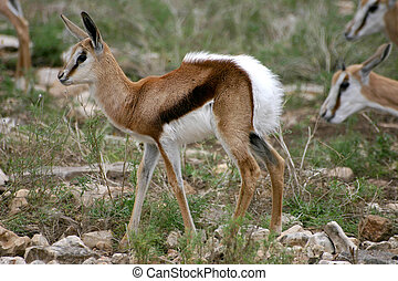 Tommie Jr - A young Thomsons gazelle stretches after feeding...