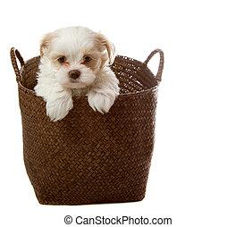 White puppy in basket - White shih tzu puppy in basket...