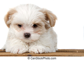 White puppy laying on a plank - White Shih Tzu puppy laying...