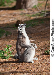 Ring-tailed lemur looks up - Ring-tailed lemur (Lemur Catta)...