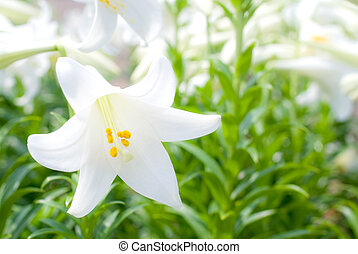 One of easter lily in the flower garden
