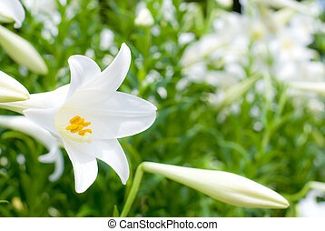 Easter lily flower and bud in the flower garden