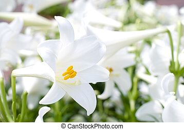 Easter lily - Blooming of easter lily in the flower garden