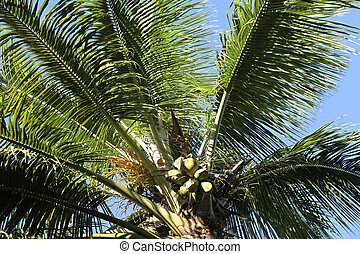 coconut palm tree - detail of a coconut palm tree