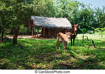 Traditional asian rural house and cows - Cows in front of of...