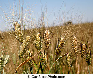 Green and Gold Wheat