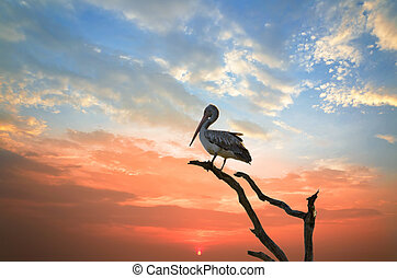 pelican sleep on a tree - silhouette of a pelican who has...