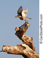 Giant Kingfisher - The lesser seen Giant Kingfisher male...