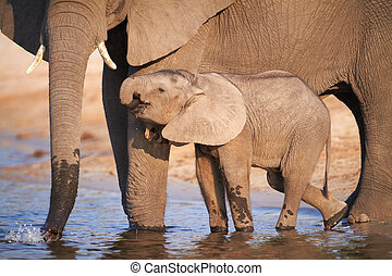 African Elephants - A herd of African elephants (Loxodonta...