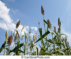 Sorghum plants grown for ethanol and fuel - Close up of...