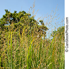 Switch grass on farm used as bio fuel - Switch grass is a...
