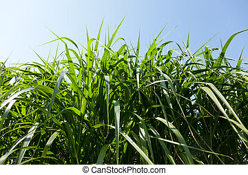 Miscanthus being grown on farm biofuel - Miscanthus plants...