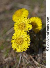 Coltsfoot - Four yellow coltsfoots growing up in early...