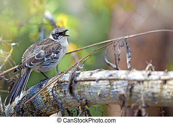 Galapagos finch - A Galapagos finch in the nature of...