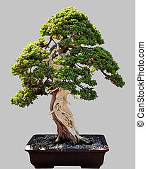 Japanese bonsai tree in pot isolated - Miniature japanese...