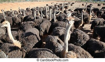 Ostriches - Large group of ostriches (Struthio camelus) on...