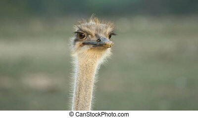 Ostrich portrait - Close-up portrait of an ostrich Struthio...
