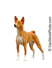 The Basenji is a breed of hunting dog