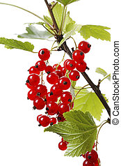 Redcurrant (Ribes rubrum) berries growing on a branch.