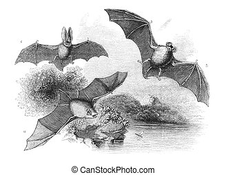 Bats - A Common Bat B Great Bat C Long-Eared Bat Engraving...