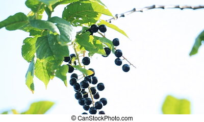 Bird-cherry tree with berries