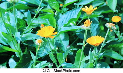 Close-up of calendula flowers