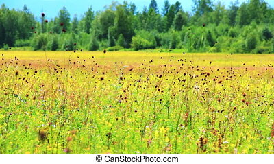 Field of burnet flowers