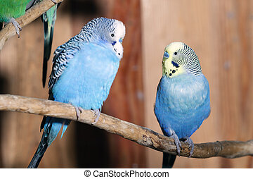 Pair of blue budgerigars in aviary
