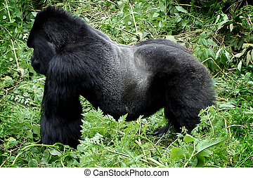 Wild silverback mountain gorilla - Powerful silverback...