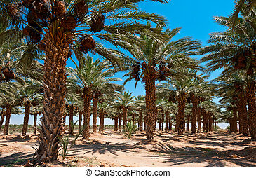 Jordan Valley - Plantation of Date Palms in the Jordan...