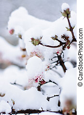 Pink flowers covered with snow - Winter tree branch with...