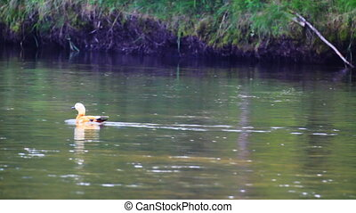 Duck float on the river surface