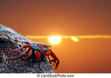 Sally lightfoot crab on Galapagos - Close up of a Sally...