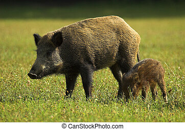 Boar - Wild Pig - Sus scrofa in a hungarian forest