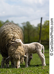 Sheep - Lamb - Sheep with young sheep For mothers day