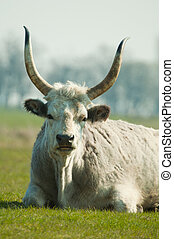 Hungarian Grey Cattle - Traditional cows in Hungary - Bos...